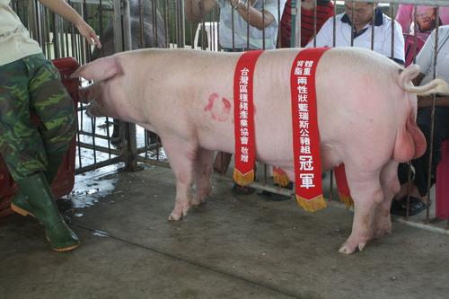 台灣種豬發展協會9807期L0805-09拍賣相片(高價豬)