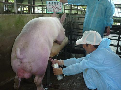 台灣種豬發展協會9807期Y0633-01採精相片