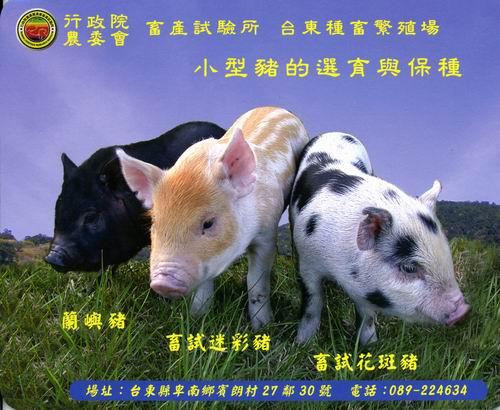 小型豬的選育與保種
