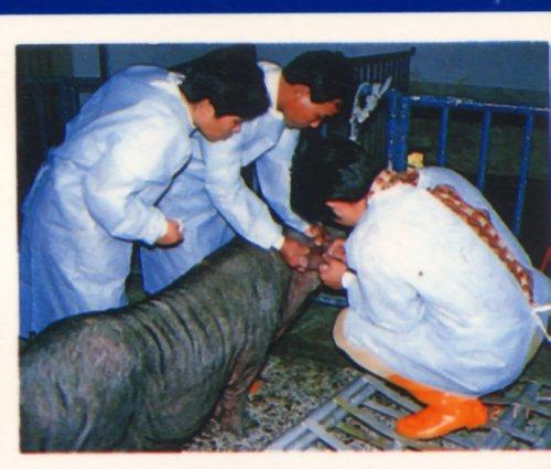 豬輸卵管授精-研習班掠影4