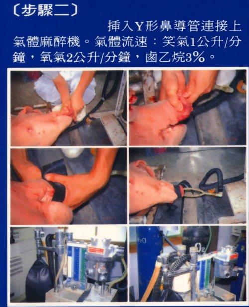 胚移置技術-豬胚移置步驟2