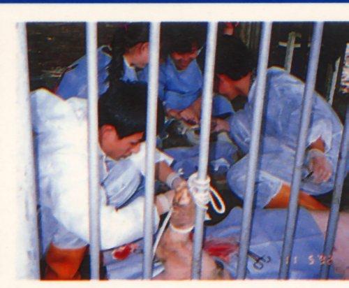 胚移置技術-豬欄內移胚3