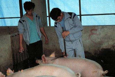 豬體型測量-肩高測量