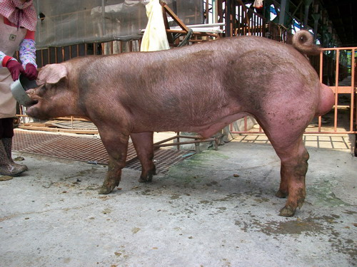 台灣種豬發展協會9808期D0259-03側面相片