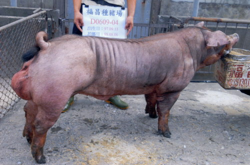 台灣種豬發展協會9808期D0609-04側面相片