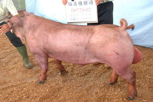 台灣種豬發展協會9808期D0729-02側面相片