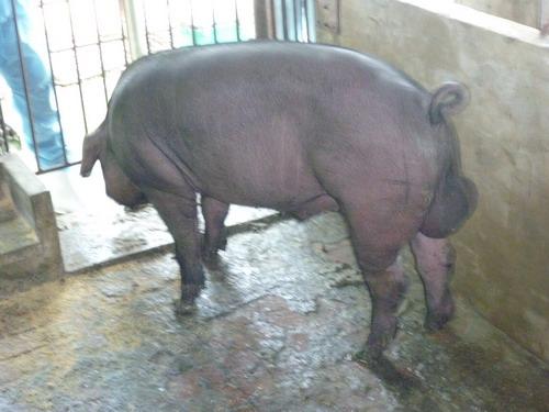 台灣種豬發展協會9808期F0130-01側面相片