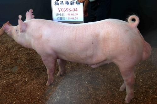台灣種豬發展協會9808期Y0398-04側面相片