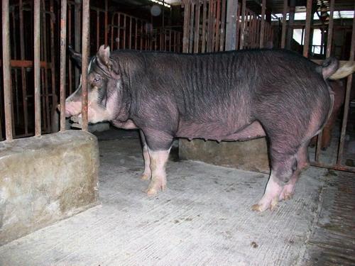 台灣種豬發展協會9808期B0422-10側面相片