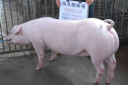 台灣種豬發展協會9808期L0521-13側面相片
