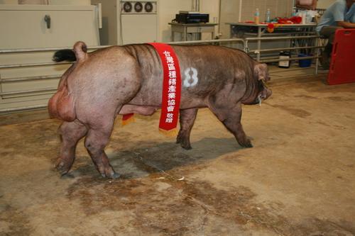 台灣種豬發展協會9808期D0609-04拍賣相片(高價豬)