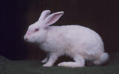 兔品種介紹-紐西蘭白兔2
