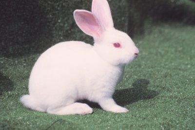 兔品種介紹-雷克斯兔1