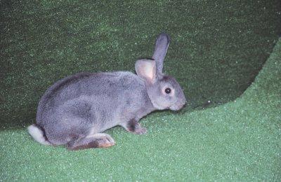 兔品種介紹-雷克斯兔2