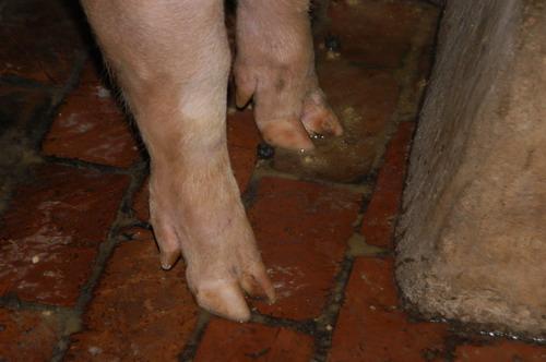 中央畜產會200903期L0517-04體型-四肢相片