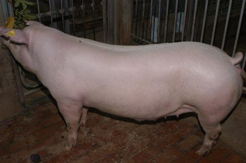 中央畜產會200903期L0513-13體型-全身相片