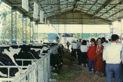 第一至六屆乳牛比賽拍賣會歷史鏡頭-牛隻進場-3