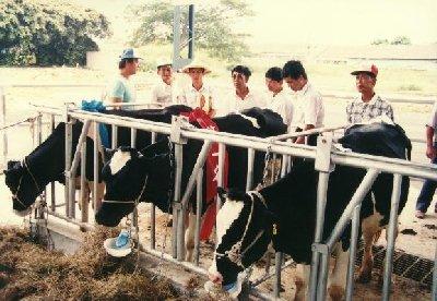 第一至六屆乳牛比賽拍賣會歷史鏡頭-提領牛隻-1
