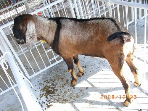 2008年種羊NR04003993比賽拍賣照片