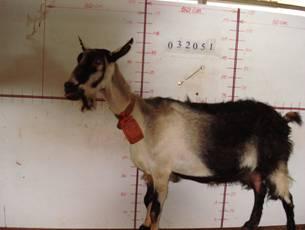 �甯K種羊AT01000267照片