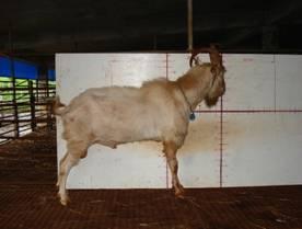 �甯K種羊ST01000457照片