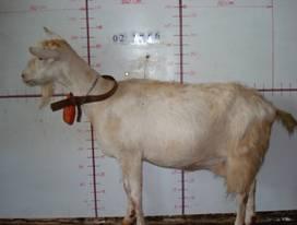 �甯K種羊ST01000479照片