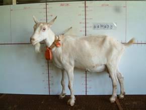�甯K種羊ST01000527照片