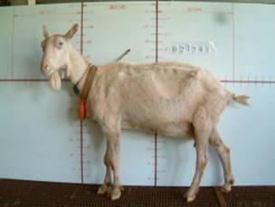 �甯K種羊ST01000474照片