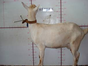 �甯K種羊ST01001762照片