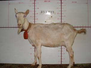 �甯K種羊ST01000492照片