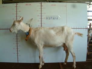 �甯K種羊ST01001763照片