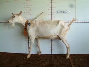 �甯K種羊ST01000508照片