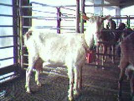�甯K種羊ST01000489照片