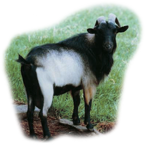 臺灣褐色山羊 Formosan  Brown Goat