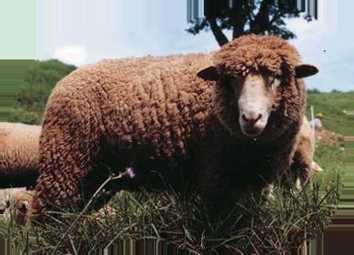 考利黛綿羊 Corriedale Sheep