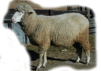 多色特綿羊 Dorset Sheep