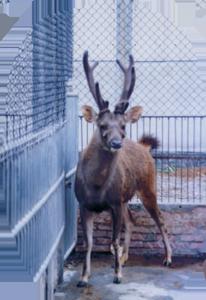臺灣水鹿 Formosan Sambar Deer
