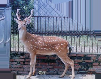 臺灣梅花鹿 Formosan Sika Deer