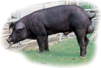 畜試黑豬一號 TLRI Black Pig No.1