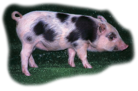 畜試花斑豬 LRI Spotty Pig