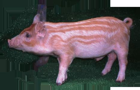 畜試迷彩豬 LRI Mitsae Pig
