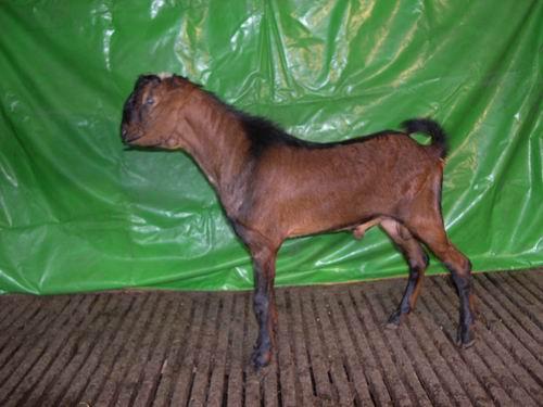 台東種畜場2006年種羊NV02002429拍賣照片
