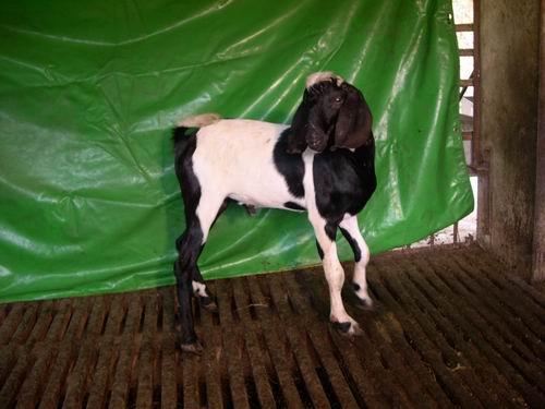 台東種畜場2006年種羊NV02002432拍賣照片