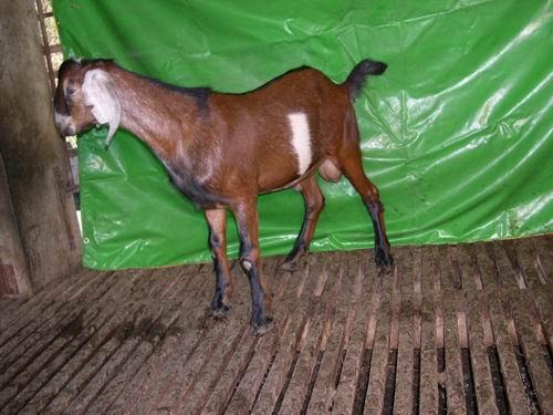 台東種畜場2006年種羊NV02002449拍賣照片