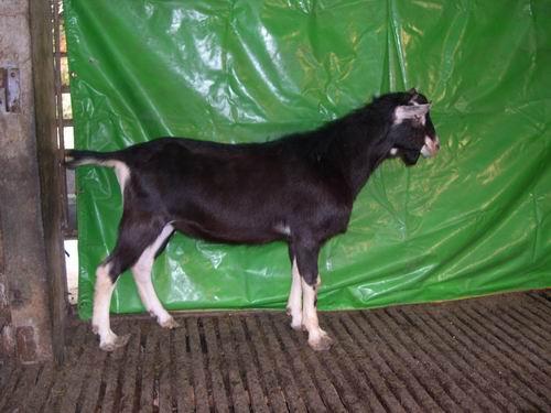 台東種畜場2006年種羊AV02002446拍賣照片