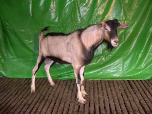 台東種畜場2006年種羊AV02002447拍賣照片