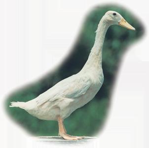 保種動物-褐色菜鴨 Brown Tsaiya