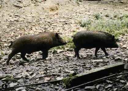 保種動物-蘭嶼豬(台東場)