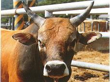 保種動物-台灣黃牛(恆春分所)