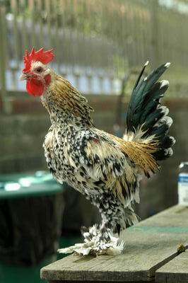 保種動物-越南黑珍珠(公雞)